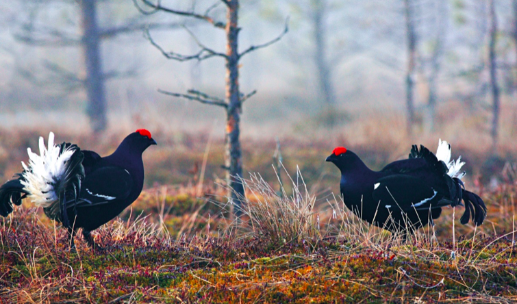 Black grouses by R. Anusauskas Lithuania.travel